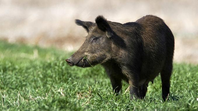 Un caz de pestă porcină africană a fost confirmat în Bistrița-Năsăud
