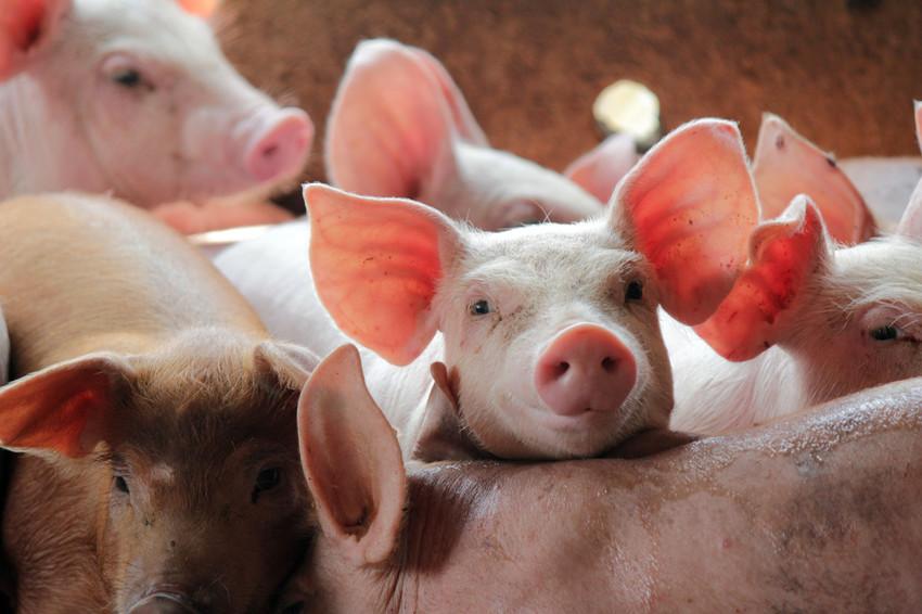 Cazuri de pestă porcină africană în Sângeorz-Băi!